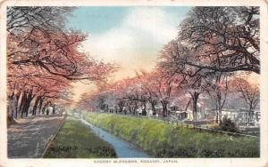 Japan Cherry Blossoms, Koganei River