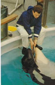 Man hand feeds a killer whale SKANA , VANCOUVER , B.C. , Canada , 40-60s