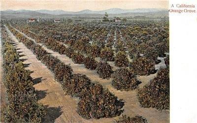 A California Orange Grove Agriculture Farming c1910s M. Rieder Vintage Postcard