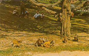 Malaysia Old Vintage Antique Post Card Monkeys at Waterfall Gardens Penang Un...