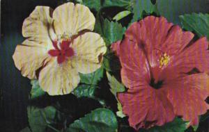 Flowers Beautiful Florida Hibiscus