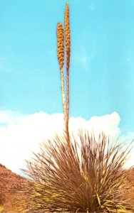New Mexico Carlsbad Zoological Botanical State Park Sotol Desert Adapted Lily