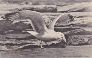 Maine Friendship Maine Gull Albertype