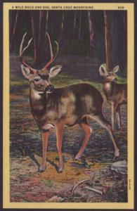 A Wild Buck and Doe,Santa Cruz Mountains Postcard