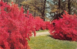 P4116 usa delaware winterthur gardens azalea trees kurume azalea firefly oak hil