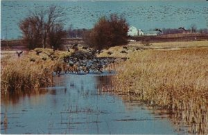 Vintage Postcard Migrating Canada Geese on Horicon Marsh Dodge County Wisconsin