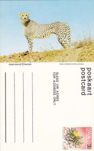 Cheetah, Namibia, South West Africa, 40-60s