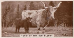 Chip Of The Old Block Bull Cow & Baby Old Cattle Photo Cigarette Card
