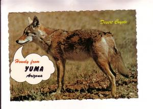 Desert Coyote, Howdy from Yuma, Arizona