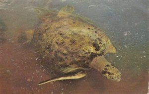Sea Turtle , Florida, 1950-60s