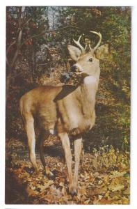Deer Young Buck