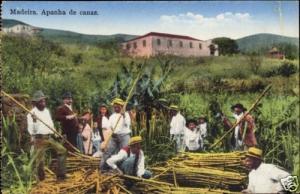 portugal, MADEIRA, Apanha de Canas, Sugar Cane (1910s)