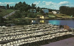 HUBBARDS, Nova Scotia , Canada , 50-60s ; Drying Cod Fish