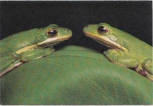 Green tree frogs, Louisiana's Atchafalaya Swamp, unused Postcard