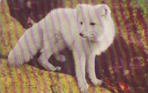 NY New York City Zoological Park Arctic Fox
