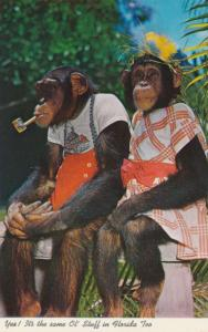 Chimpanzees at Monkey Jungle - Miami FL, Florida - Dressed and Pipe Smoking