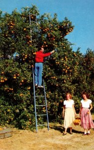 Florida Waverley Typical Orange Grove Loaded With Oranges