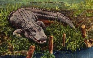 Florida Alligator An Old Timer In Florida Curteich