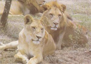 Lions , KENYA , 1980s
