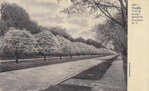 Rochester , New York  ; Magnolia Trees in bloom , Oxford Street , 00-10s