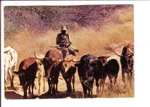 Cattle, Kalahari, Botswana, Used 1980