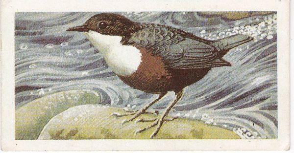 Trade Cards Brooke Bond Wild Birds in Britain No6 Dipper