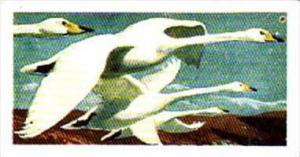 Brooke Bond Tea Trade Card Wild Birds In Britain No 42 Whooper Swan