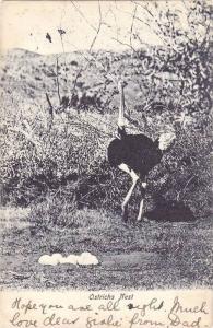 Ostrichs nest , South Africa , PU-1903