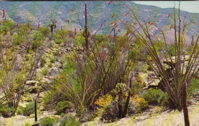 Cactus Ocotilla Cactus