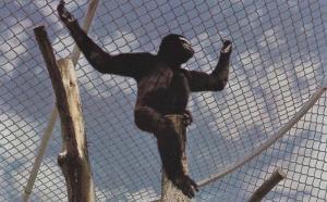 Hoolock gibbon monkey , B.C. Wildlife Park , KAMLOOPS , B.C., Canada , 40-60s