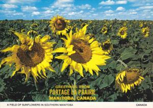Field of Sunflowers , Manitoba [Portage La Prairie] , 50-70s