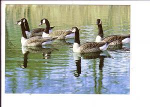 Canada Geese, North American Wildlife