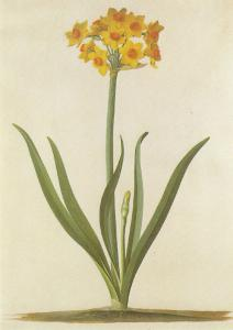 Narcissus GD Ehret Watercolour London Museum Flower Painting Postcard