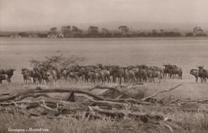 Gorongosa Mozambique Rift Valley Herd Of Cattle RPC South African Postcard