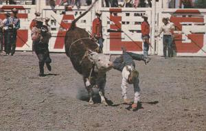 Junior Steer Riding, Calgary Stampede, Calgary, Alberta, Canada, 40-60´s