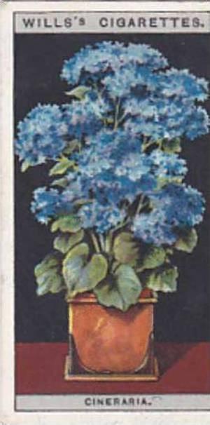 Wills Vintage Cigarette Card Flower Culture In Pots No 17 Cineraria  1925