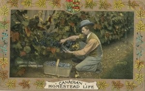 Homestead Life , Canada , 1900-10s ; Gathering Grapes