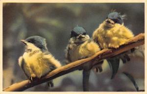 Birds on Branch Animaux Postcard