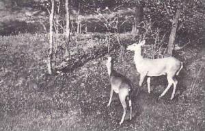 Maryland Oakland Native Wild Deer Albertype