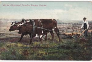 On the Homestead , Canada´s Western Prairies, Ox Team Plow , 00-10s