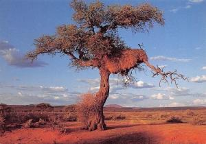 Namibia Camel Thorn (Acacia Erioloba) Dabis Guest Farm