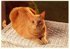Sweet Orange Tabby