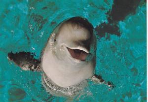 Artic White Whales, Beluga Whales, (Delphinapterus leucas) Vancouver, British...