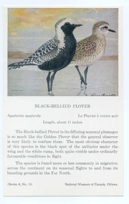 Black-Bellied Plover painted by Allan Brooks, National Museum of Canada Ottawa