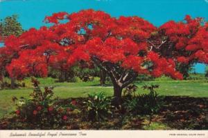Bahamas Nassau Beautiful Royal Poinciana Tree In Bloom