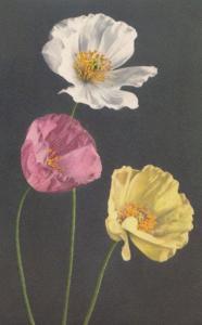 Alpine Poppy Pavot Des Alpes Vintage Flower Postcard