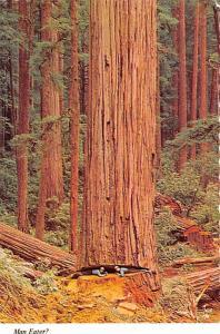 California Redwoods - Man Eater