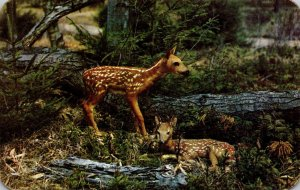 Deer New Arrivals Baby Fawns