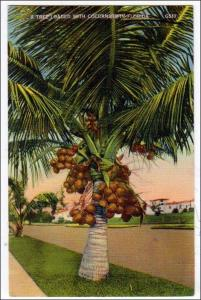 Coconut Tree FL