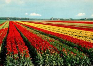 Netherlands Beautiful Tulip Fields